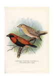 Northern Red Bishop, Euplectes Franciscanus Giclee Print by Frederick William Frohawk