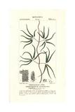 Climbing Fern, Lygodium Circinatum Giclée-Druck von Pierre Turpin