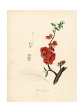 Japanese Quince, Chaenomeles Japonica Giclee Print by M.A. Burnett
