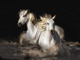 Camargue Horses Giclee Print by Bobbie Goodrich