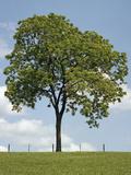 Tree Seasons II Giclee Print by Bill Coleman