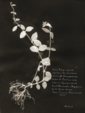 Botanical Collector III Giclee Print by Chris Dunker