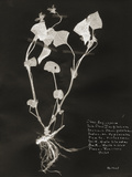 Botanical Collector I Giclee Print by Chris Dunker