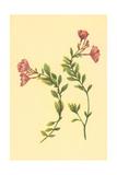 Epilobium Rigidum Prints