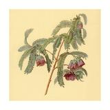 Spaendoncea Tamarandifolia Print
