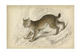 Felis Canadenis Lynx Posters