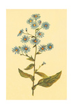 Wavy Leaved Aster Giclee Print