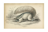 Great Anteater Giclee Print
