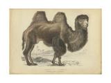 Camel Dromedary Poster