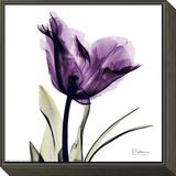 Royal Purple Parrot Tulip Framed Print Mount by Albert Koetsier