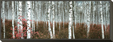 Silver Birch Forest, China Framed Print Mount