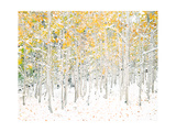 Quaking Aspens Premium Giclee Print by Shelley Lake