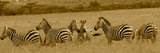 Zebras Photographic Print by Sarah Farnsworth