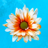 Peach Daisy Photographic Print by Gail Peck