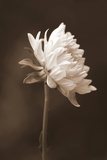 Sepia Flower I Photographic Print by Gail Peck