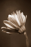 Sepia Flower II Photographic Print by Gail Peck