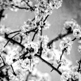 Black and White Blossoms I Photographic Print by Susan Bryant