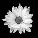 White Daisy Photographic Print by Gail Peck