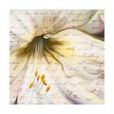 Lily Script II Premium Giclee Print by Patricia Quintero-Pinto