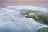 The Ice Bear Fotografisk trykk av Paul Souders