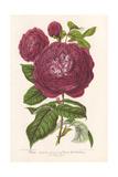 Reine Des Violettes, Purple Hybrid Rose Giclee Print by P. Stroobant