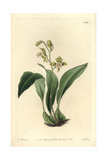 Bifrenaria Racemosa Orchid Giclee Print by M. Hart