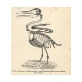 Ichthyornis Dispar Skeleton Giclee Print by J. Smit