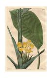 Yellow Calathea Flower, Calathea Flavescens Giclee Print by M. Hart