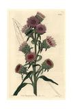 Large-Flowered Liatris, Liatris Scariosa Giclee Print by M. Hart