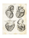 Anatomy of the Human Heart Giclee Print by T. Milton