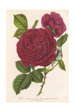 Triomphe D'Amiens Hybrid Rose Giclee Print by P. Stroobant
