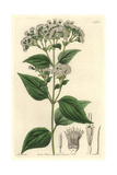 Eupatory, Ageratina Adenophora Giclee Print by M. Hart