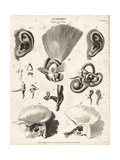 Anatomy of the Human Ear Giclee Print by T. Milton