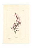 Hairy-Flower Heath, Erica Hirtiflora, Native to South Africa Giclee Print by W. Miller