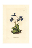 Large-Flowered Butterwort, Pinguicula Grandiflora Giclee Print by W. Miller