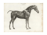 Anatomy of the Horse: Musculature Giclee Print by T. Milton