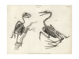 Anatomy of Birds: Skeleton Impression giclée par T. Milton