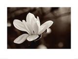 Magnolie Kunstdrucke von John Hartl