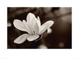 Magnolia Prints by John Hartl