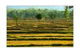 Thailand, Rice Paddy Photographic Print by Stephen Vaughan