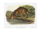 Ocelot Giclee Print by John Woodhouse Audubon