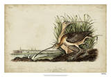 Long-billed Curlew Reproduction procédé giclée par John James Audubon