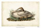 Trumpeter Swan II Giclee Print by John James Audubon