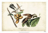 Yellow-billed Cuckoo Impression giclée par John James Audubon