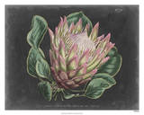 Dramatic Protea I Giclee Print by  Curtis