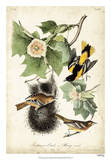 Carouge loriot de Baltimore Reproduction procédé giclée par John James Audubon