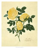 Double Yellow Rose Giclee Print by Mary Lawrence