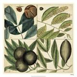 Catesby Leaf Quadrant IV Giclee Print by Mark Catesby