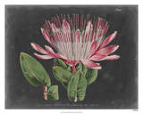 Dramatic Protea II Giclee Print by  Curtis