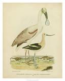 Antique Spoonbill & Sandpipers Reproduction procédé giclée par Alexander Wilson